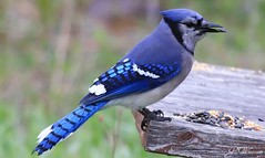 Blue Jay, St. John's, Newfoundland (gwhiteway) Tags: blue canada bird nature birds newfoundland stjohns bluejay nl 2008 birdwatcher mywinners platinumphoto cans2s frhwofavs thesuperbmasterpiece