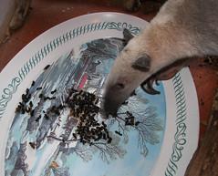 Pua eats ants