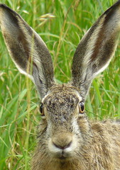 Big ears (Beleonora) Tags: summer portrait rabbit nature animal finland hare ears urbanwildlife backyardwildlife jnis explore490
