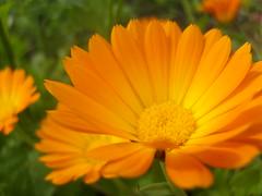 marigold flower (dandavie) Tags: orange plants flower macro nature gold mari
