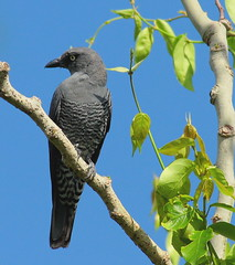 cuckoo shrike_ (Rey Sta. Ana) Tags: bird birds wildbirds wild philippines avian wildlife palawan candaba manila mantarey rey staana philippine philippinebirdphotography kites eagles subic bay ternate avianphotography philippinebirds bestimages bestshots ducks coucals sunbird waterbirds waders heron rail reystaana reysa coron birdsinflight bif up diliman philippinewildbirdphotography caylabne mtpalaypalay
