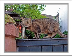 Nachbars Kater - Cat in the neighborhood