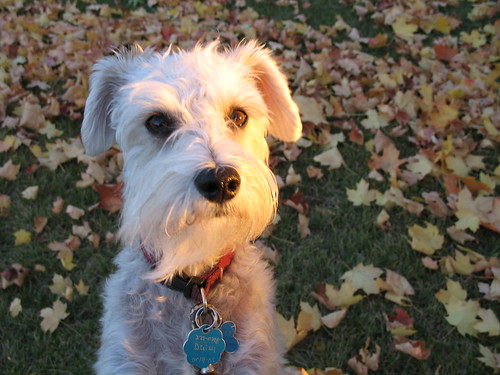 Daisy the Wonder Schnoodle