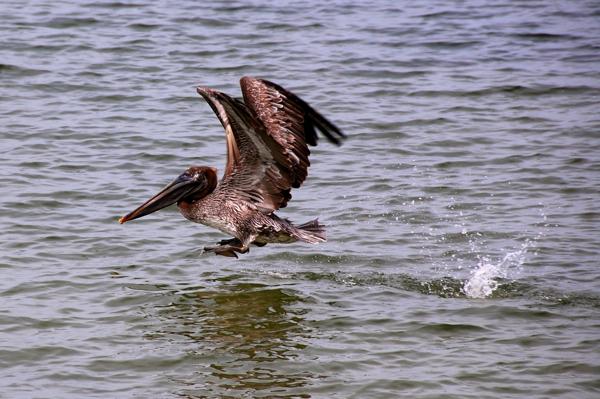 pelicanspash0151