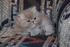Theodore (Betsy Cole Photography) Tags: red cats white cute face cat hair fur persian eyes kitten doll long moments sweet chocolate smoke tabby extreme kitty fluffy balls kittens lilac precious copper cameo breed pea smushy breeder cattery