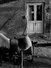 EL MONTURERO (Erniebm) Tags: door bw byn argentina puerta buenosaires pablo taller campo saddle bragado recado pilchas monturero soguero elmalabrigo