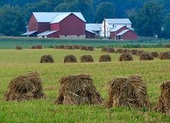 Amish Hay Stacks