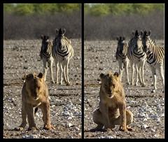 Call of Nature (Patrick Costello) Tags: d50 diptych lion zebra waterhole namibia etosha