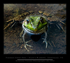 Northern Green Frog - Giant's Washbowl, Adirondacks (Mountain Visions) Tags: pentaxsmcpda35mmf28