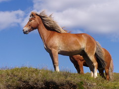 Reynifell (Villimey) Tags: horses dogs animals cat iceland pferde hunde hella foal