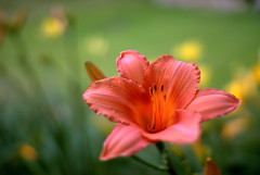 peach (gitsul.) Tags: flowers flower garden backyard lily peach theboldflower