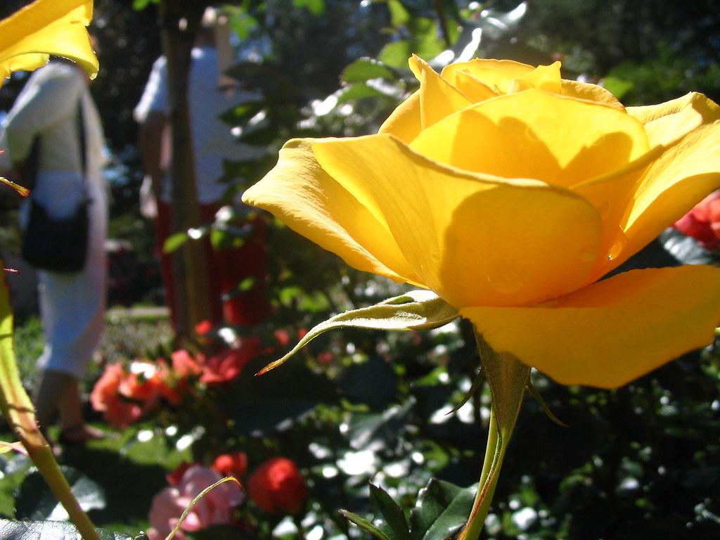 Ruusutarha