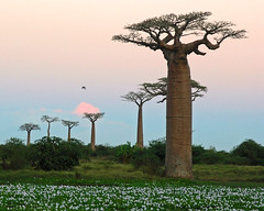 more Baobabs (Z Eduardo...) Tags: africa sunset tree nature colors island colours wildlife madagascar baobab mywinners abigfave twtmeiconoftheday aplusphoto platinumheartaward flickraward flickraward5 flickrawardgallery