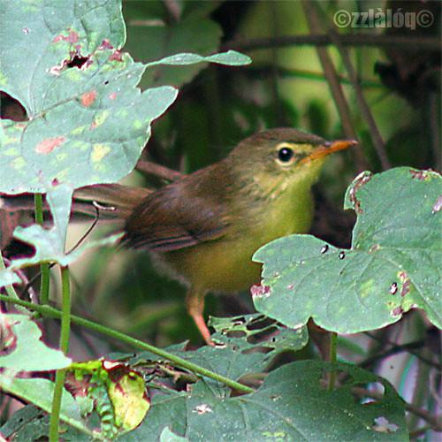 Perenjak Kuning @ Yellow-bellied Prinia (Juvenile)