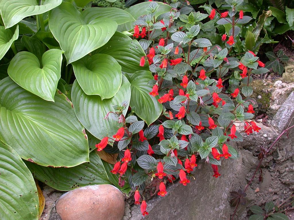 Seemannia nematanthodes Evita