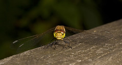 """Common Darter Dragonfly (Sympetrum s(72) • <a style=""""font-size:0.8em;"""" href=""""http://www.flickr.com/photos/57024565@N00/2754474482/"""" target=""""_blank"""">View on Flickr</a>"""