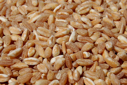 Close up of uncooked farro grains by Eve Fox, copyright 2008