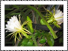 Hylocereus undatus (Red Pitaya, Dragonfruit, Night Blooming Cereus, Belle of the Night) - 2 flowers and a bud