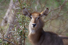 Waterbuck (Arno Meintjes Wildlife) Tags: africa park wallpaper nature animal southafrica mammal bush wildlife safari explore rsa krugernationalpark waterbuck naturesfinest interestingness402 i500 specanimal arnomeintjes