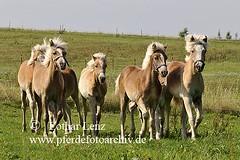 _LL09900-2 (Lothar Lenz) Tags: horse caballo cheval cavalo pferd hest equus paard haflinger hst fohlen hestur herde konj hobu zirgs absetzer absetzen schlachtfohlen fotolotharlenz schlachtpferde alhaus2008