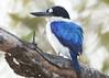 Forest Kingfisher (Greg Miles) Tags: australia northernterritory kakadunationalpark forestkingfisher specanimal todiramphusmacleayii avianexcellence vosplusbellesphotos abcopen:project=upclose gregmiles