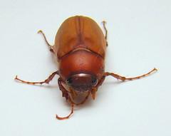 June Beetle (Anita363) Tags: fauna insect newjersey beetle nj july highlandpark junebug unidentified coleoptera maybeetle junebeetle scarabaeidae melolonthinae phyllophaga polyphaga scarabaeoidea melolonthini