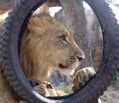 At the lion park