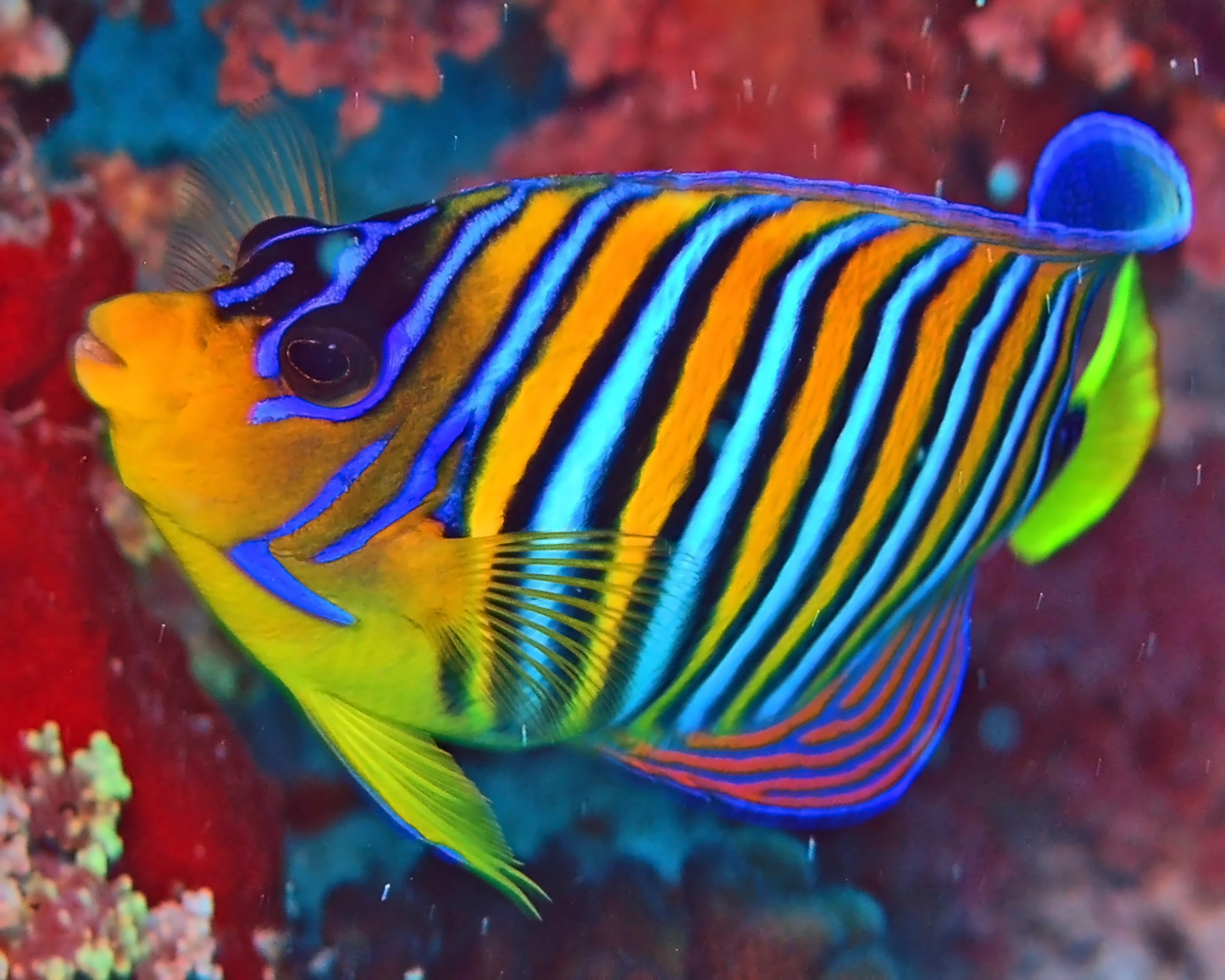 Here you can clearly see the beautiful stripes of the Royal Angelfish ...
