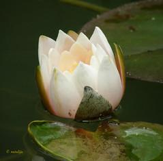 Beli lokvanj (natalija2006) Tags: plant flower nature natalija naturesfinest narava cvet rastlina golddragon mozirskigaj impressedbeauty npisec