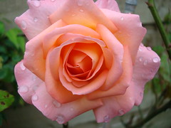 Rose (pixiepic's) Tags: rain rose garden flowerscolours