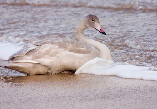 Goose on the beach (3)