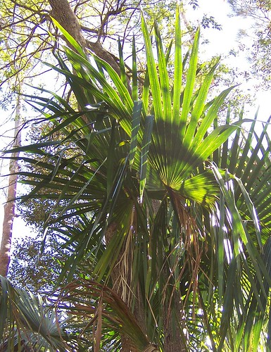 Cabbage Tree Palm leaves