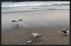 Gulls on the Beach (MarilynTee) Tags: ocean city seagulls beach nj atlantic