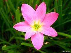 You Are Beautiful To Me (Don Vippalhey) Tags: pink flower macro green grass yellow garden petal wisam wixam