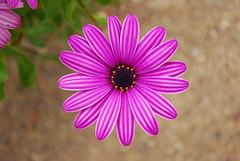 Osteospermum with Stripes (dotmax) Tags: flower purple stripes polen 2008 d60 simplyflowers auniverseofflowers