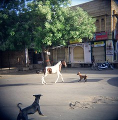 47820002.jpg (dogseat) Tags: travel urban horse dog india cute dogs nature strange animals fun weird holga fight brawl perfect play competition battle ishootfilm pony curiosity animalia jodhpur compete throwdown jodpur