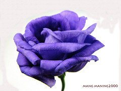 Rose? (mang M) Tags: flower macro purple searchthebest violet iloveit blueribbonwinner eliteimages goldstaraward rubyphotographer mimamorflowers 100commentgroup mangmaning2000
