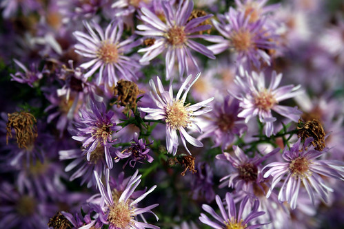 Fading New York Asters 5
