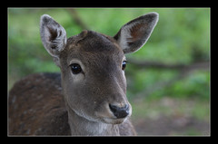 fawn (felt_tip_felon) Tags: portrait mammal wildlife ears deer fawn soe