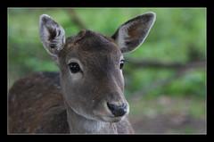 fawn (felt_tip_felon) Tags: portrait mammal wildlife ears deer fawn soe