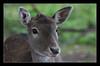 fawn (felt_tip_felon®) Tags: portrait mammal wildlife ears deer fawn soe