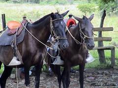 Estancia La Maria -Colombia (Cristina Bruseghini de Di Maggio) Tags: horses caballos colombia negro nero chevaux