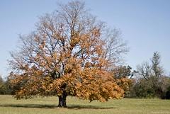 My Tree - November 08 (raisinsawdust - (aka: tennphoto)) Tags: autumn tree fall colors leaves maple nikon tennessee branches redmaple d80 nikond80 multimegashot
