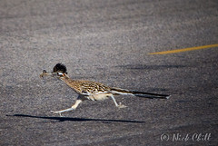 Fast Food / Roadrunner (Nick Chill Photography) Tags: california road food motion mountains slr bird classic fauna dinner insect lunch photography movement nikon desert image feeding action pavement wildlife stock cartoon fast running run meal grasshopper prey dslr airborne ontheroad cuckoo avian roadrunner dx looneytunes d60 stereotypical greaterroadrunner geococcyxcalifornianus meepmeep chapparal cuculiformes thewonderfulworldofbirds nickchill birdsnw09 neomorphidae 1galleries