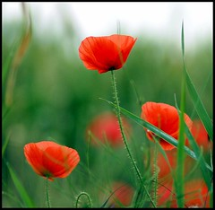 Poppy Wonderland (Levels Nature) Tags: flowers red flower green nature petals bravo view details somerset poppy poppies westonzoyland topshots fantasticflower mywinners abigfave natureselegantshots