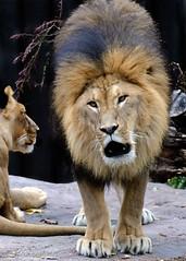 (hadowdancer) Tags: nikon lion chloe africanlion clevelandmetroparkszoo d80 animalkingdomelite anawesomeshot nikkor70200mmf28vr impressedbeauty moufasa