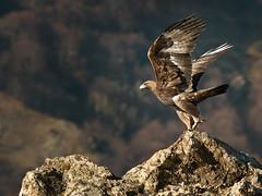 Golden Eagle Takeoff (Mike Ashton) Tags: mountains bird flying nikon rocks searchthebest flight bulgaria talon raptor goldeneagle specanimal 200400vr dapagroupmeritaward6 dapagroupmeritaward5