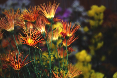 fancy chrysanthemum (fire)