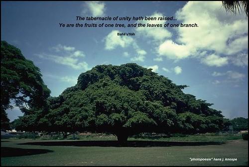 huge tree in Honolulu / Hawaii - 50 m diameter...