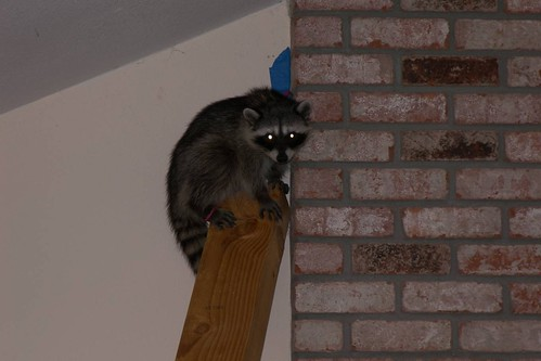 coon in house